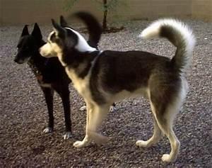 List of Sled Dog Breeds
