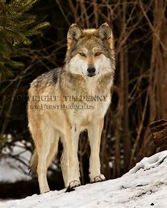 Wolf Photographs by Tim Denny - Oneida Nation Photographer.