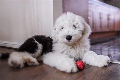 Old English Sheepdog Puppy  Weeks Old David Martyn Hunt Flickr