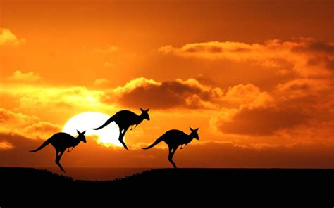 wallpaper  kangaroos  australia hd animals wallpapers