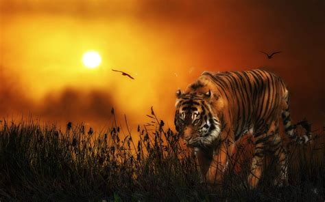 Tiger Animal Wallpaper - asian big tiger and sunset animal wallpapers hd