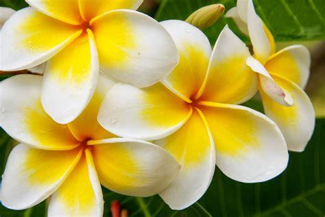 coltivare fiori frangipane fiore impariamo a coltivare la plumeria