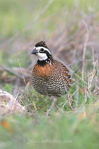 Bobwhite Quail in Driftwood, TX | Birds I have seen ...