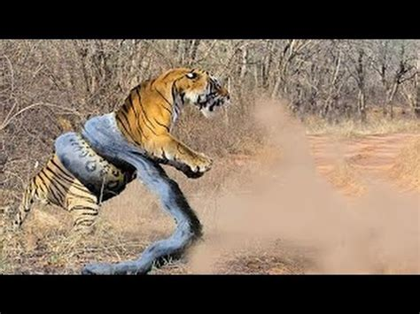 giant anaconda attacks tiger animal fight python
