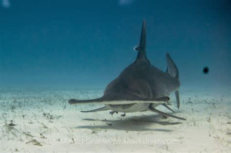 hammerhead shark pictures weneedfun