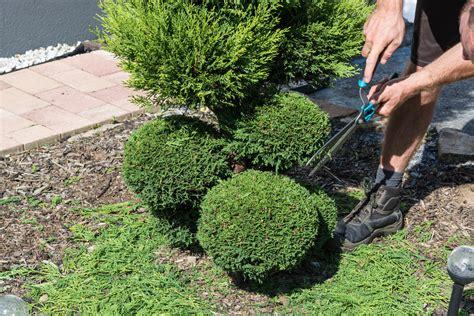 koniferen schneiden wann buchsbaum formschnitt 187 wie oft und wann wird geschnitten