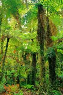 New Zealand Tree Ferns