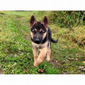 Pictures Of Black And Tan German Shepherd Puppies ...