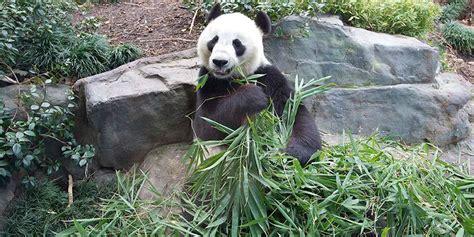 Zoologischer Garten Berlin Panda by Panda Facts Adelaide Zoo