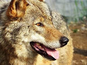 Wolf Profile by SheltieWolf on DeviantArt