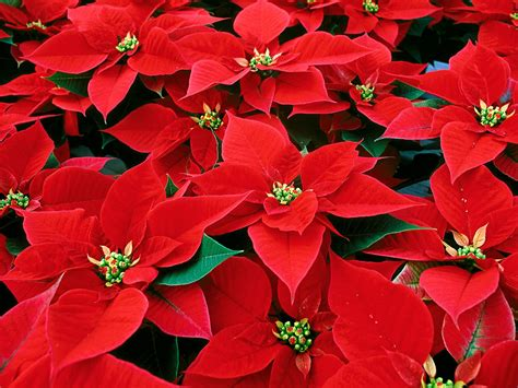 caring for poinsettias poinsettia care tips donaldson s greenhouse