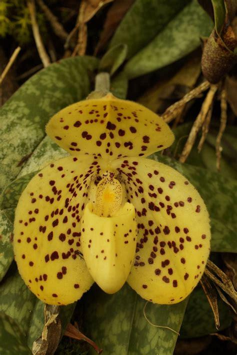 Paphiopedilum wenshanense | Orchids Forum