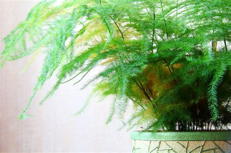 indoor ferns weekly tip give your indoor fern the extra care it needs to thrive oregonlive com