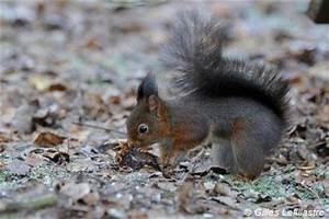 Que Donner A Manger A Un Ecureuil Sauvage : accueil les cureuils en france ~ Dallasstarsshop.com Idées de Décoration