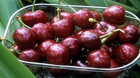 grow cherries rhs gardening