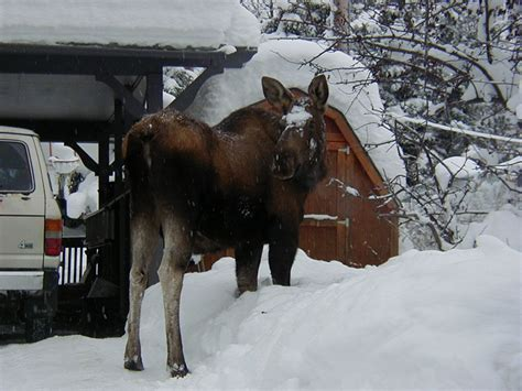 funny moose pictures great   moose  funny