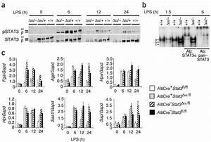 Stat3 Protein Phosphorylation  Dna