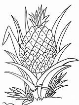 Pineapple Coloring Pages Clipart Printable Plant Cartoon Fruits Drawing Fruit Print Cool2bkids Colouring Adult Sheets Line Clipground Getdrawings Vegetables Ananas sketch template