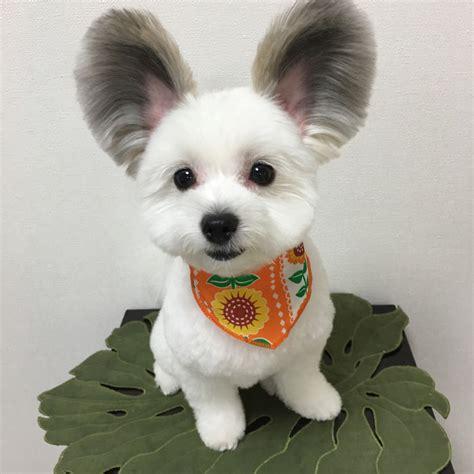 goma  trop mignon chien aux oreilles de mickey toutrien
