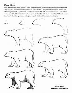 Bear (Polar) Drawing Lesson