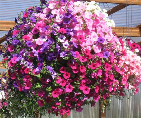 hanging basket flowers in my garden how to plant a hanging basket