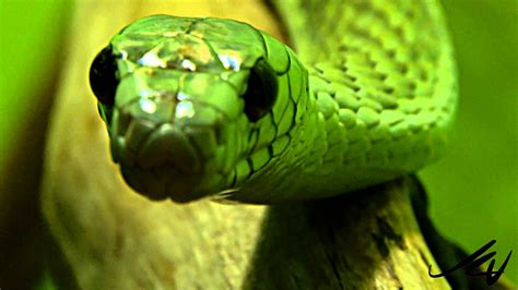 african green snakes west african green mamba and other deadly