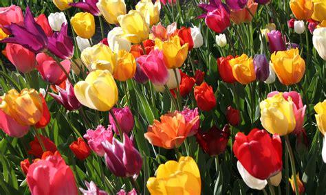 Garten Tulpen Pflanzen by Tulpen Pflanzen Pflegen Und Vermehren Das Haus