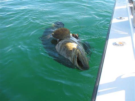 grouper goliath caught lb comments imgur external