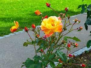 Rosen Schneiden Zeitpunkt : rosen schneiden darauf m ssen sie achten garten mix ~ Frokenaadalensverden.com Haus und Dekorationen