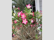 Plant of the Week The Desert Rose Construction Landscape