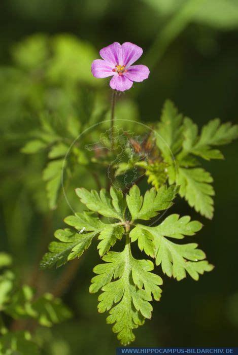 geranium robertianum alias gemeiner storchschnabel