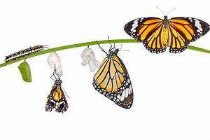 How Does A Caterpillar Turn Into A Butterfly