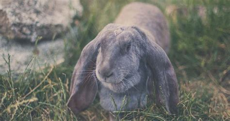 English Lop   101 Care & Diet Guide   RabbitPedia.com