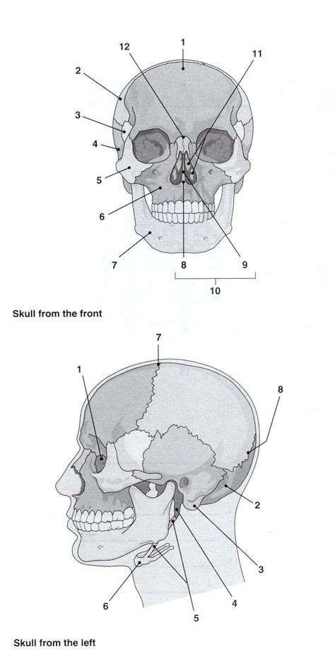skull labelling worksheet a p can be