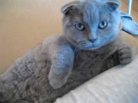 Cat Scottish Fold Kitten Drone Fest