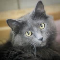 gray cat breeds 7 best g r e y c a t images on grey cats