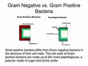 Ppt - Gram Stain Powerpoint Presentation