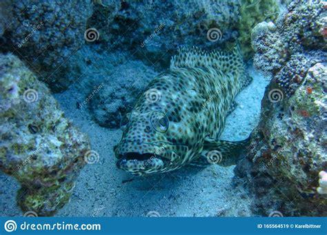 grouper epinephelus greasy lurks arabian upward prey facing rather thick mouth wide lips head marine ocean