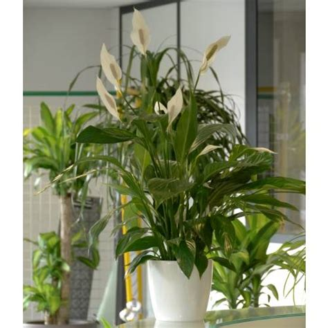 plante d int 233 rieur spathiphyllum pot blanc vente