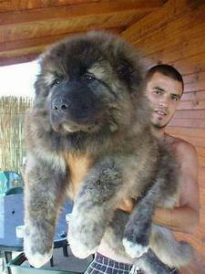 Caucasian Mountain Dogs Are Massive And Mean (And Awesome ...