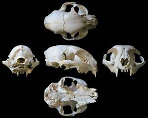 Diagram Of A Cat Skull
