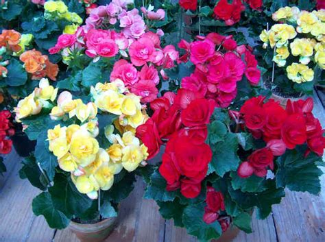 fiori begonie piante da vaso begonia begonie tuberose rizomatose a