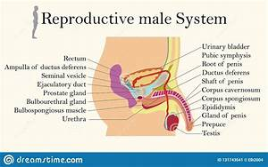 Male Urinary System Royalty