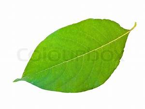 Single green leaf against the white background | Stock ...
