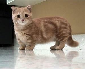 The Munchkin Cat. stop too cute | cats | Pinterest