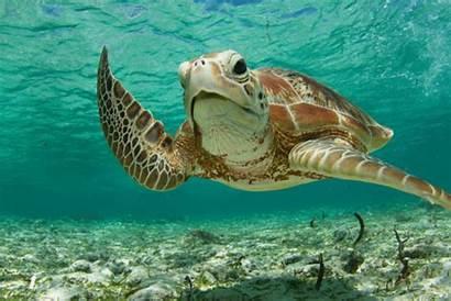 Turtle Sea Animated Marina Gifer Turtles Seychelles