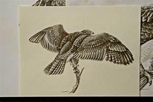 Hawks Drawings