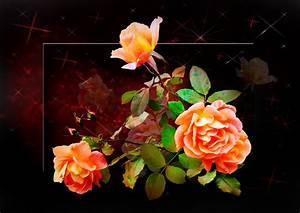 Hornspäne Für Rosen : rosen f r ein sch nes wochenende foto bild natur blumen pflanzen bilder auf fotocommunity ~ Eleganceandgraceweddings.com Haus und Dekorationen