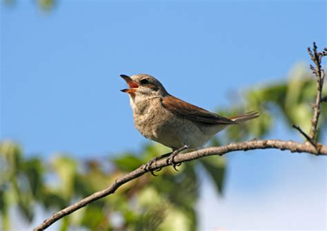 general knowledge why do birds sing