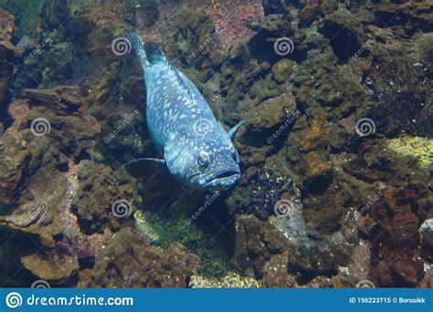 goliath grouper atlantic itajara jewfish epinephelus habitat known bekend ook als hun